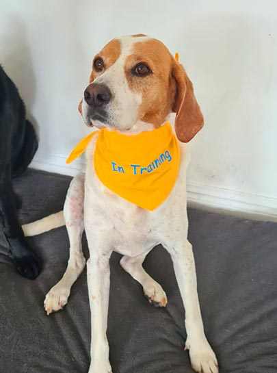 Don't pet me I'm 'In Training' Scarf Tie Bandana