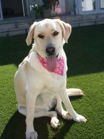 Pretty in Pink Pawfect Dog Bandana